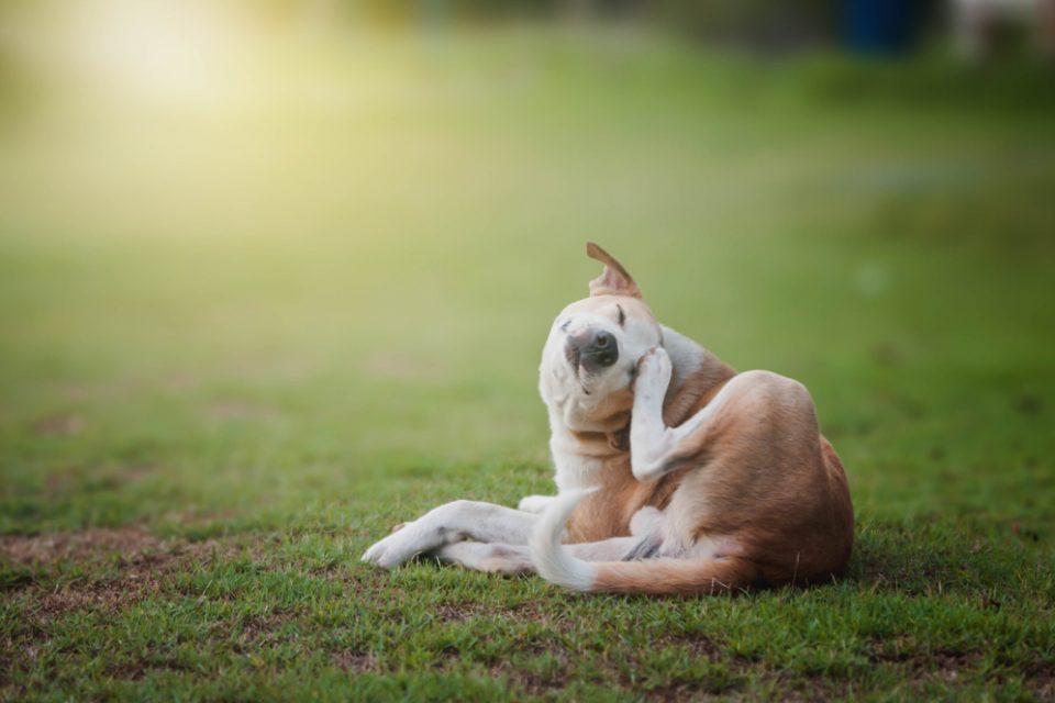 Sem o uso do antipulgas para cachorro, cão tem coceira na orelha