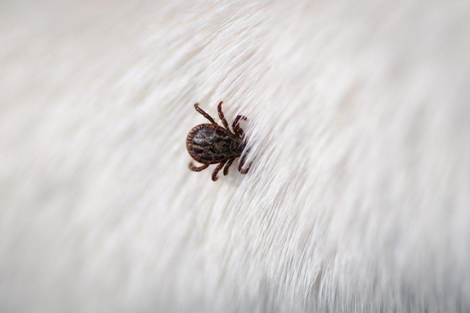 Sem o uso do antiparasitário, o carrapato permanece no pelo do animal