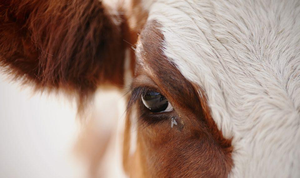 Babesiose em bovinos