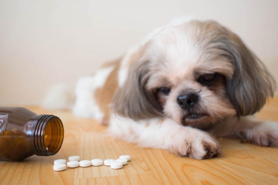 Cachorro olhando para Chemitril comprimidos