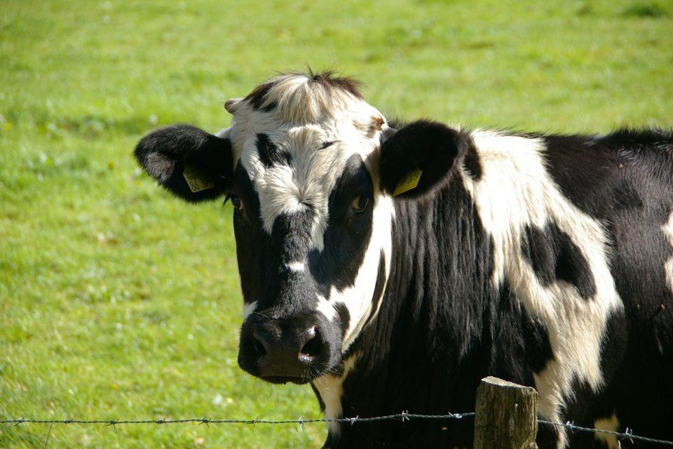 Mastite bovina: vaca malhada olhando para a câmera