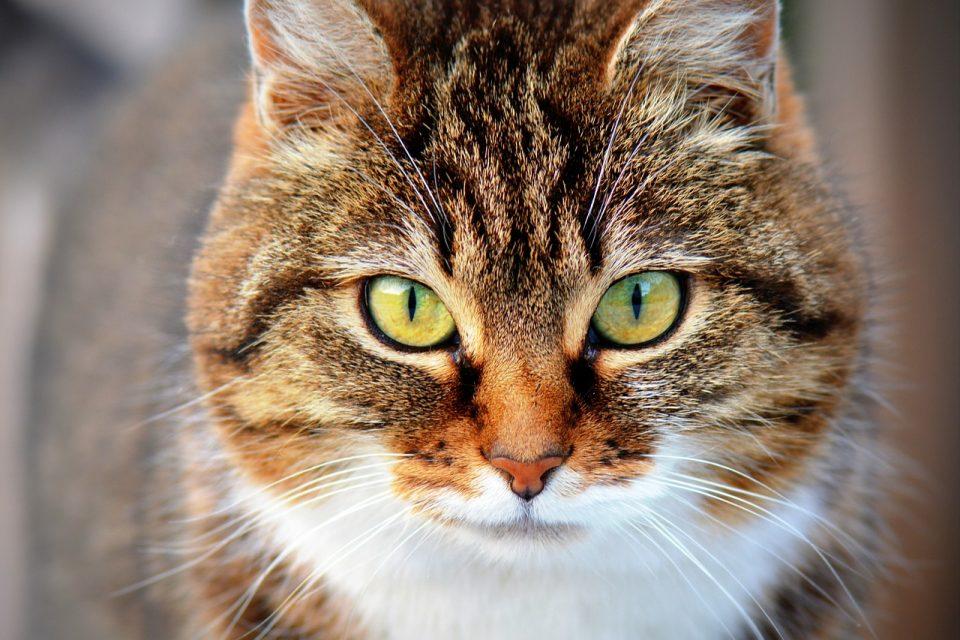 Doenças dos gatos: gato olhando diretamente para a câmera