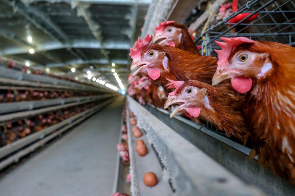 Granja mantida em boas condições com o uso de desinfetante na avicultura