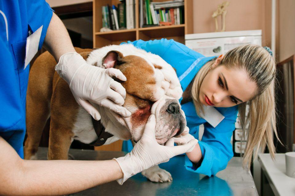 Veterinária utiliza método para tratar alergias em cães e gatos