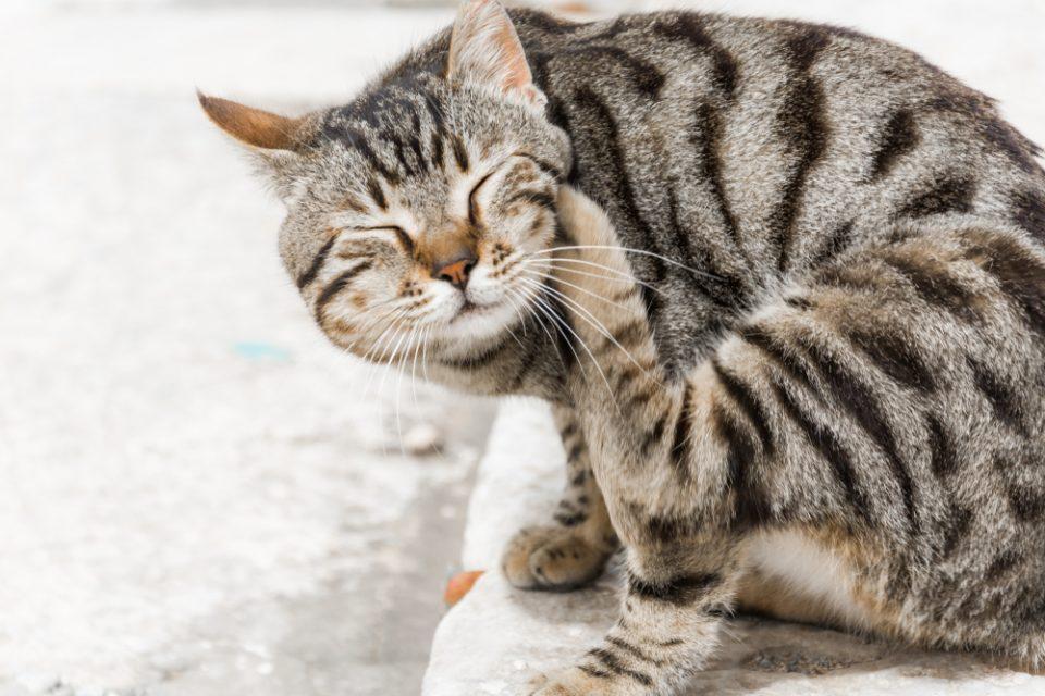 Gato com coceira causada por pulgas.